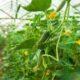 Огурцы в теплице. Особенности выращивания.