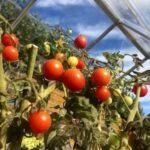 помидоры в теплице - обложка статьи
