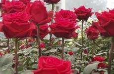 Розы в теплице. Разведение на продажу как бизнес.