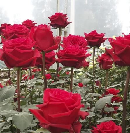 Розы в теплице - обложка статьи