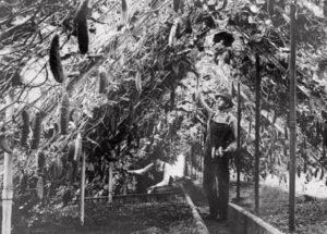 сбор урожая в советской теплице